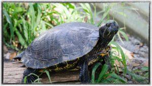 turtle-boarding