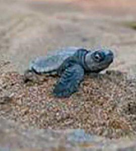 sea-turtle-nesting