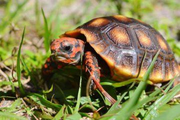 cherryhead redfoot tortoise hatchling