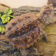 Snapping-turtle-closeup
