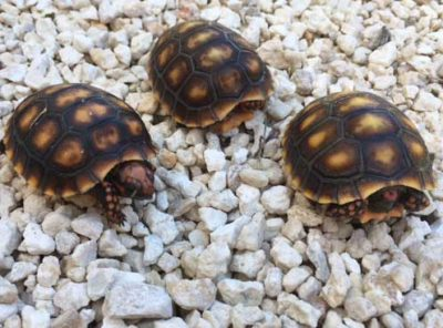 Redfoot tortoise hatchling