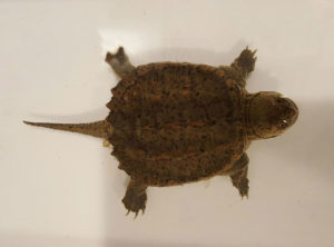 Snapping turtle hatchlings
