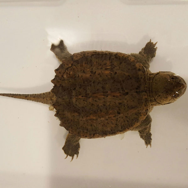 snapping-turtle-March-17