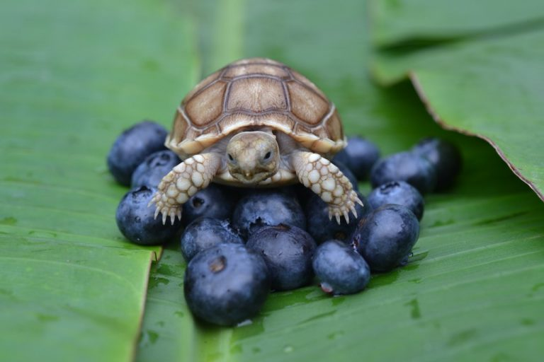 Tortoises With a Big Appetite