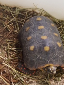 Redfoot Tortoise Adults