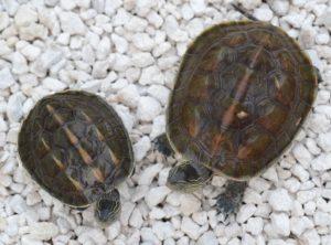 Golden Thread turtles