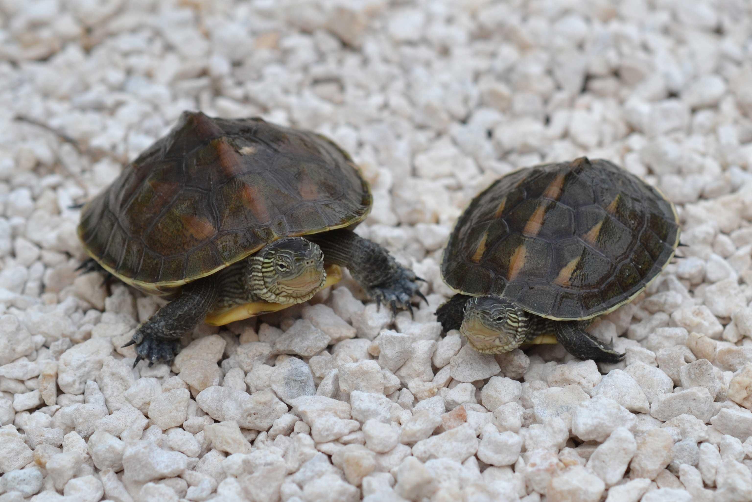 Buy Golden Thread Turtles
