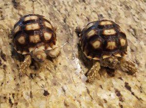 Spur Thigh Tortoise Jumbo Hatchling