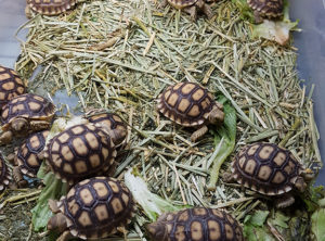 Spur Thigh Tortoise Hatchling