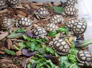 Spur Thigh Tortoise Hatchling