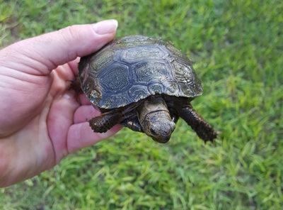 Burmese Mountain Brown tortoise