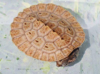 New Guinea Sideneck Turtle Hatchling