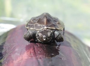 Reeves Turtle Hatchling