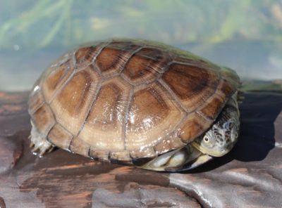 African Sideneck Turtle Hatchling