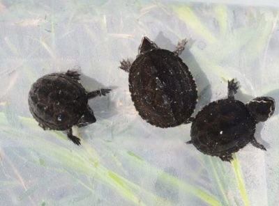 Stinkpot Turtle Hatchling