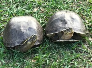 Asian Box turtle Adult Pair