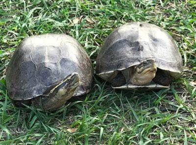 Asian Box turtle Adult Pair