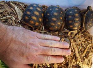 Redfoot tortoise Jumbo hatchling
