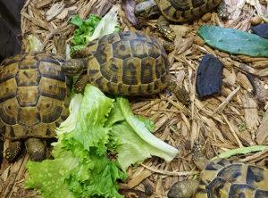 Hermanns Tortoise Juveniles