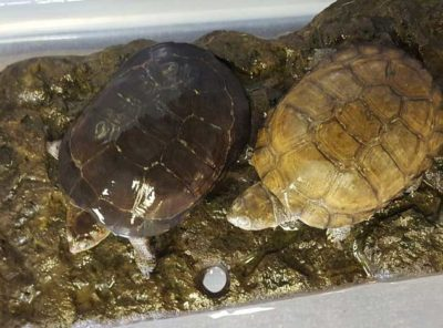 African Helmeted Turtle Pair