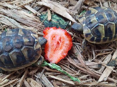 Hermanns Tortoise hatchlings
