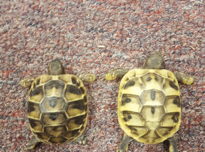 Hermanns Tortoise hatchlings