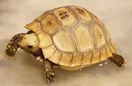 Elongated Tortoise Hatchling