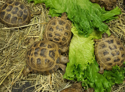Russian Tortoise Adults
