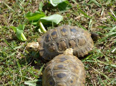 Elongated Tortoise Pre Adults