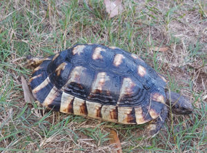 Marginated Tortoise Adults