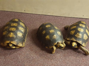 Yellowfoot Tortoise Adults