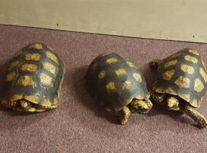 Yellowfoot Tortoise Adults