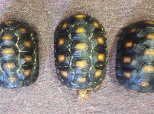 Juvenile Cherryhead Tortoise
