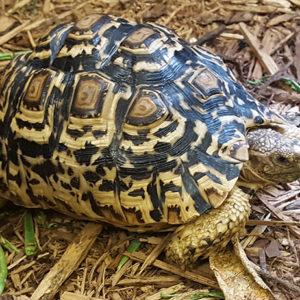 Leopard Tortoise Adult Female