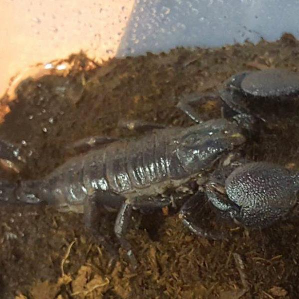 scorpion feature