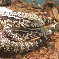 tegu feature