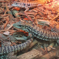red tegu feature
