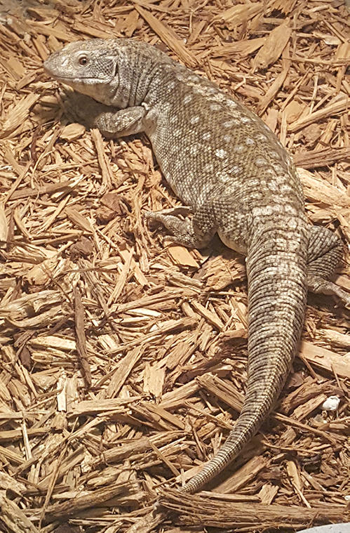 savannah monitor feature