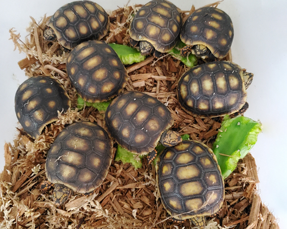 Current Tortoise Inventory