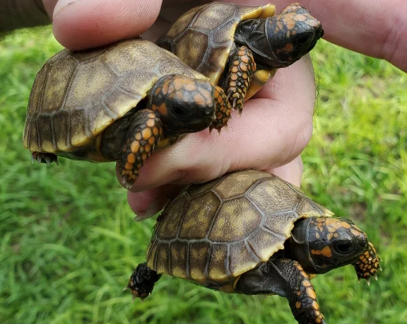 List of Currently Available Tortoises